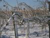 winter-vines